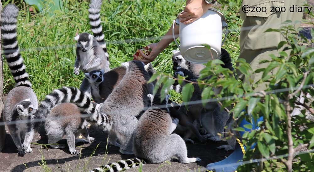 上野動物園 ワオキツネザル
