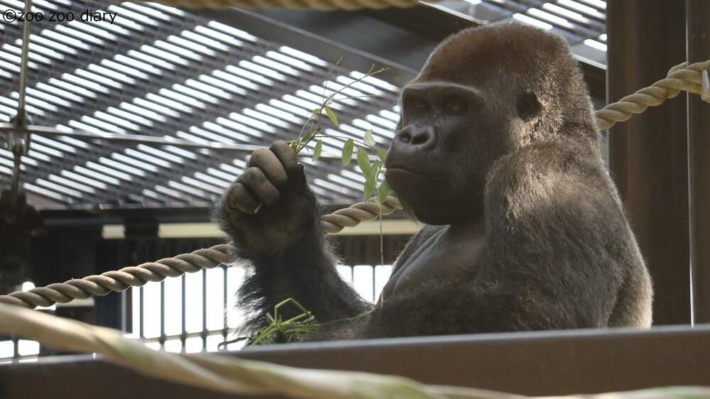 モモタロウ ゴリラ 京都市動物園