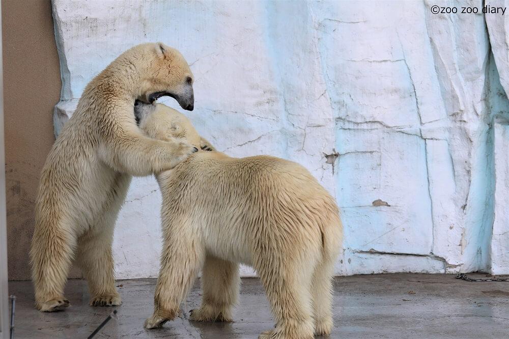 上野動物園 ホッキョクグマ デアとイコロ