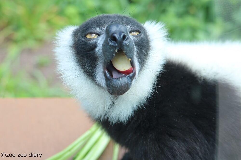 上野動物園 クロシロエリマキキツネザル