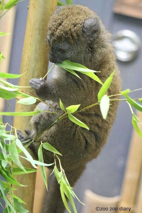 上野動物園 ハイイロジェントルキツネザル