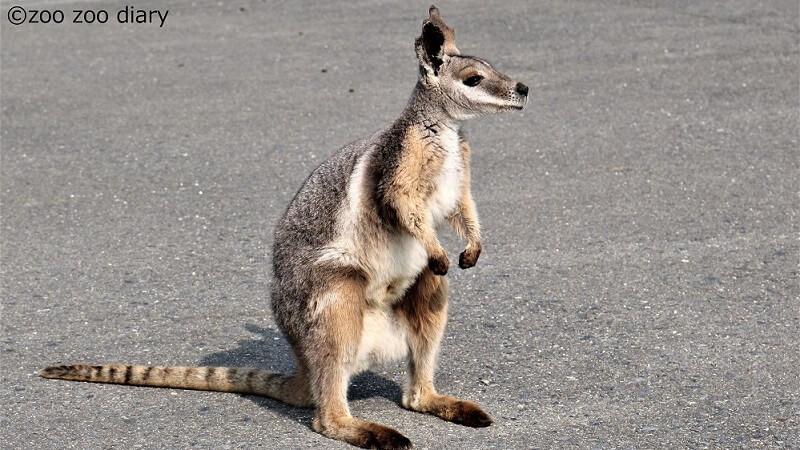 ひびき動物ワールド シマオイワワラビー ロックワラビー