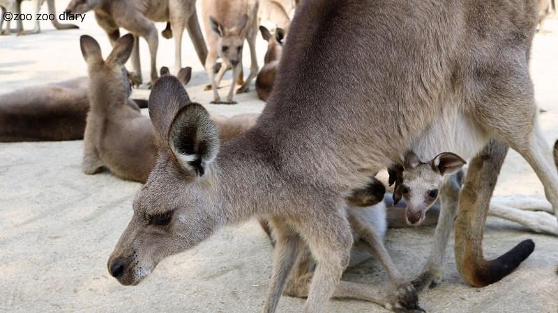 ひびき動物ワールド カンガルーの赤ちゃん