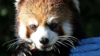 福岡市動物園 レッサーパンダ マリモ