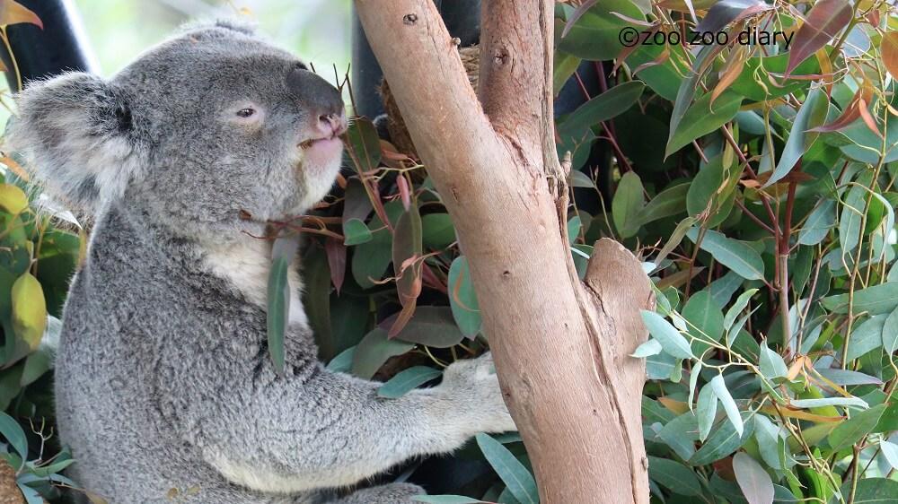 サンディエゴ動物園 コアラ