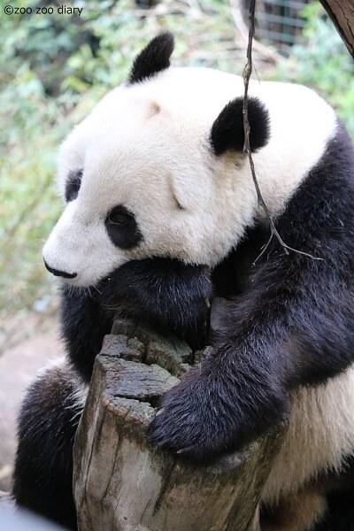 サンディエゴ動物園 パンダ