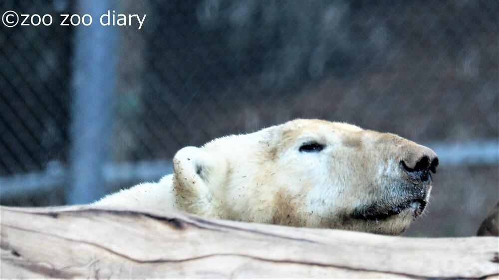 サンディエゴ動物園 ホッキョクグマ