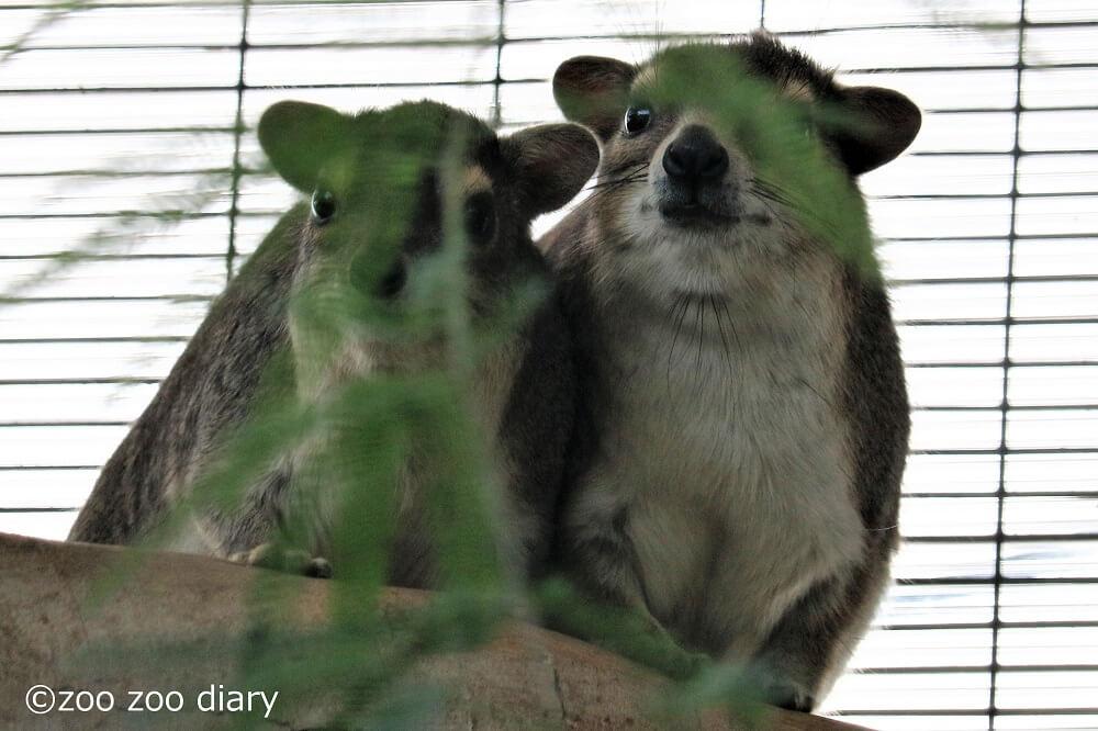サンディエゴ動物園 ケープハイラックス
