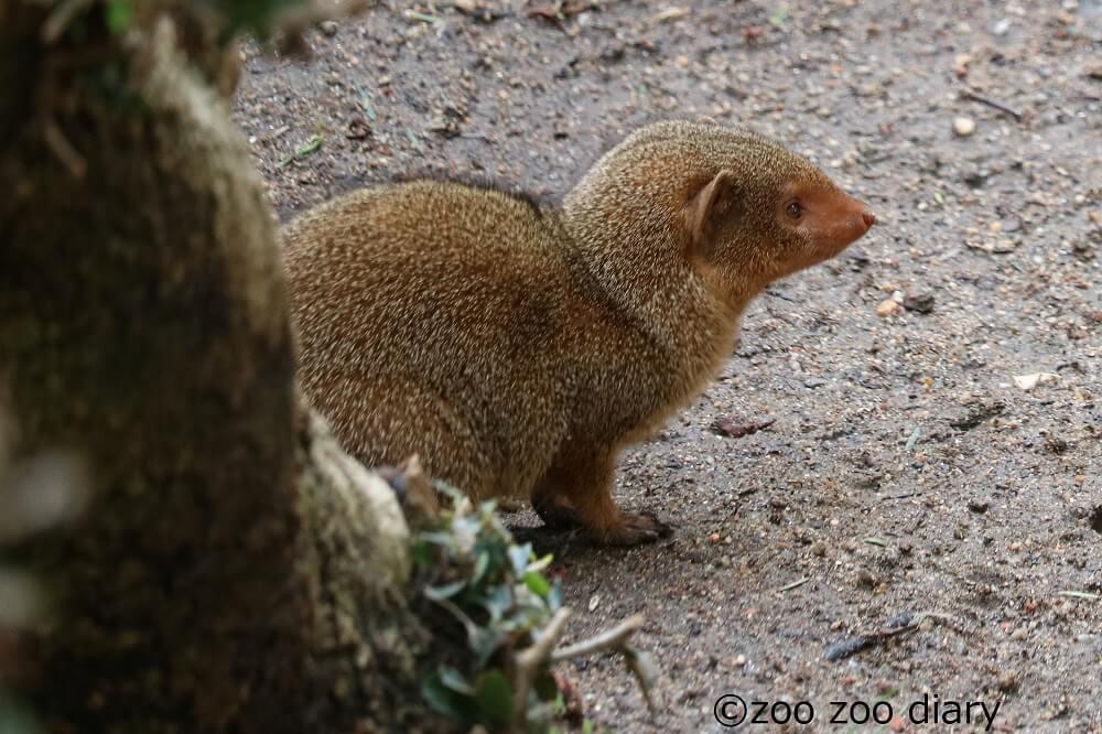 サンディエゴ動物園 ドワーフマングース