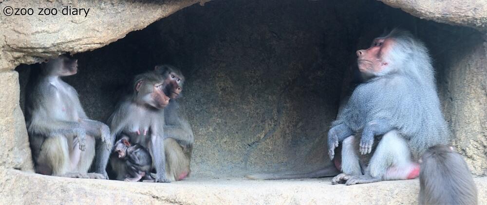 サンディエゴ動物園 マントヒヒ