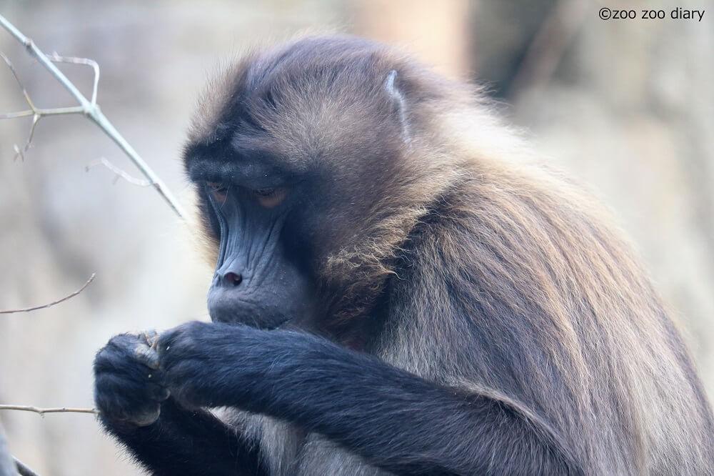サンディエゴ動物園 ゲラダヒヒ