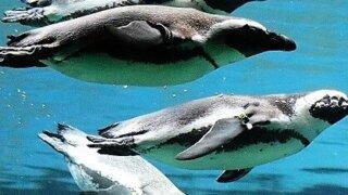サンディエゴ動物園 ケープペンギン