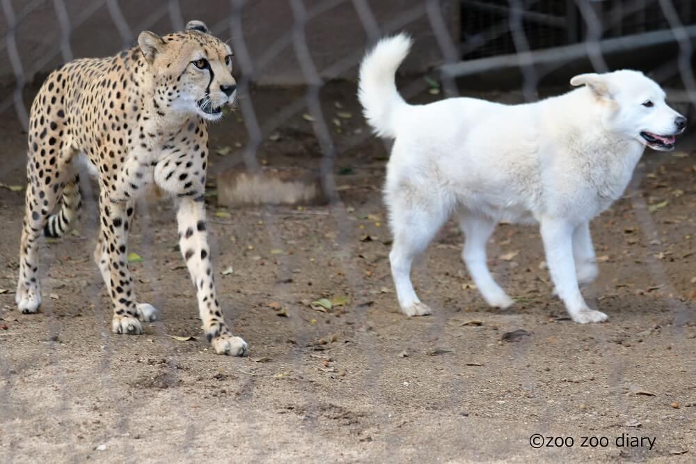 チーターとイヌ サンディエゴ動物園