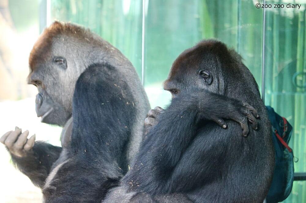 サンディエゴ動物園 ゴリラ