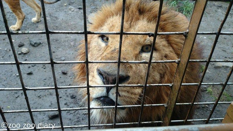 アフリカンサファリ ジャングルバス ライオン