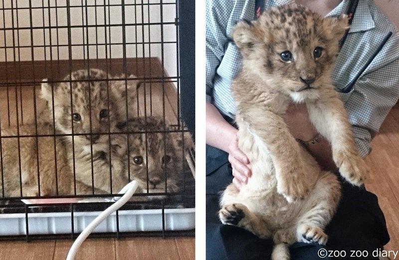 ライオンの赤ちゃん アフリカンサファリ