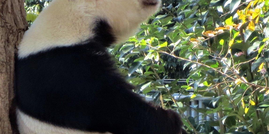 王子動物園 パンダ タンタン