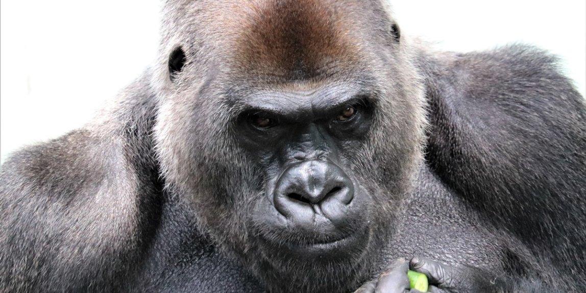 福岡市動物園 ゴリラ ビンドン