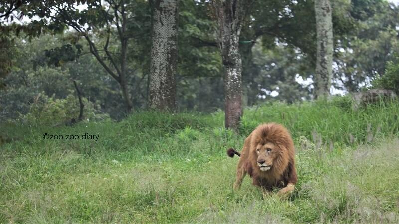 九州アフリカンサファリ ライオン