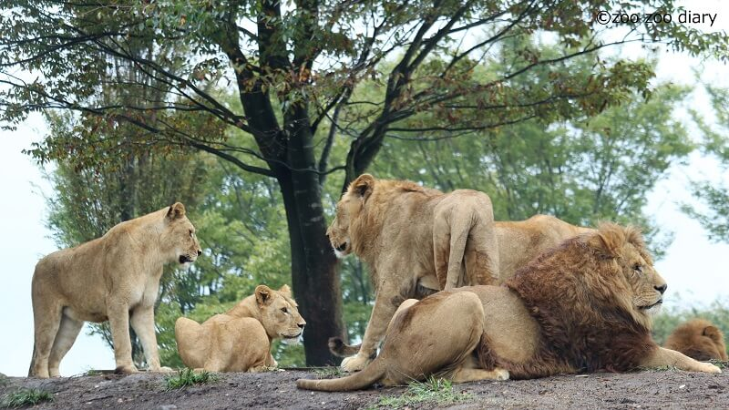 アフリカンサファリ ライオン