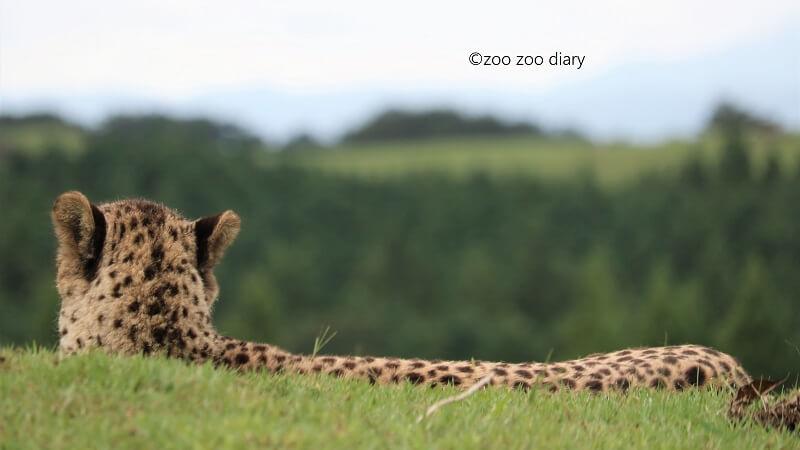 アフリカンサファリ チーター