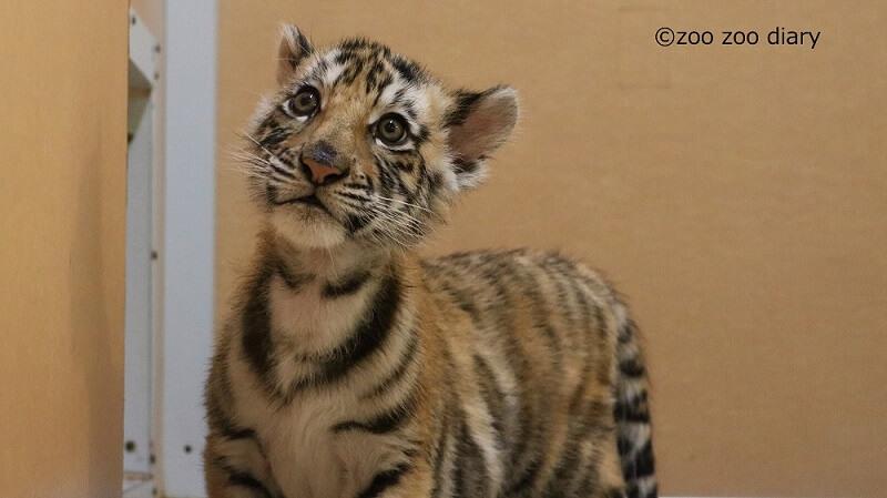 アフリカンサファリ トラ 赤ちゃん