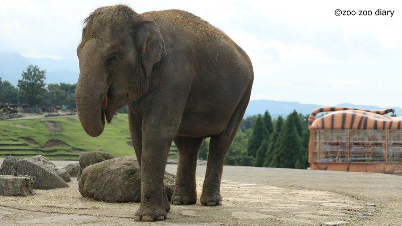 アフリカンサファリ ゾウ