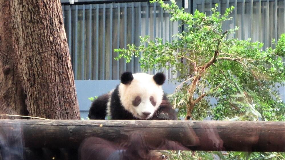 上野動物園 パンダの赤ちゃん シャンシャン