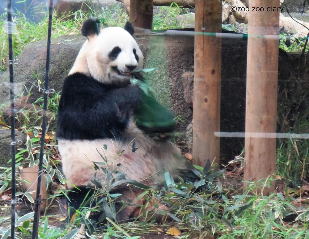 上野動物園 パンダの母親 シンシン