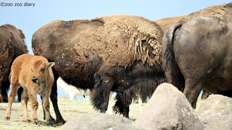 九州自然動物公園アフリカンサファリ バイソン