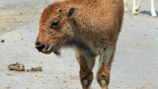 九州自然動物公園アフリカンサファリ バイソンの赤ちゃん