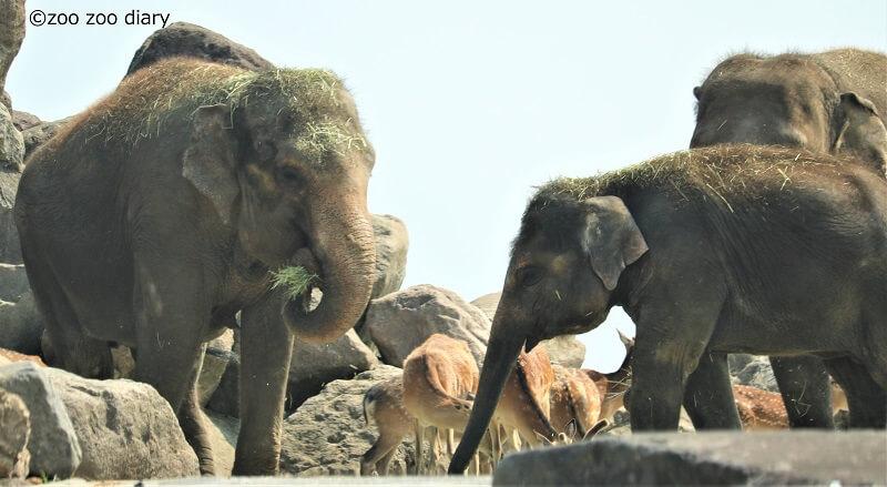 九州自然動物公園アフリカンサファリ アジアゾウ