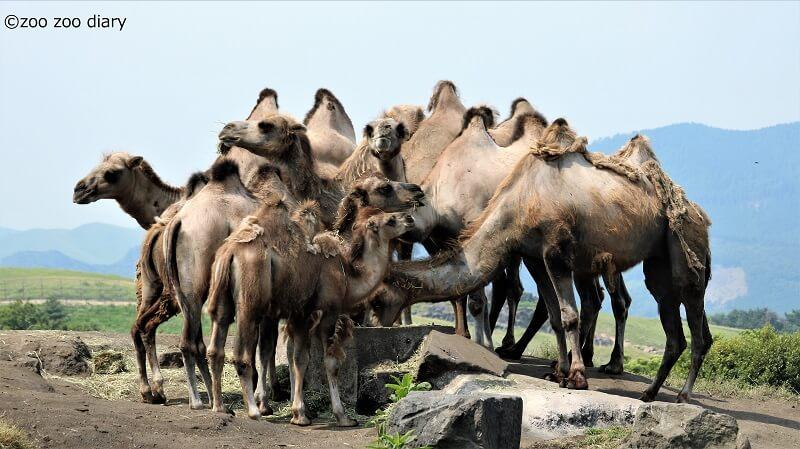 九州自然動物公園アフリカンサファリ ラクダ