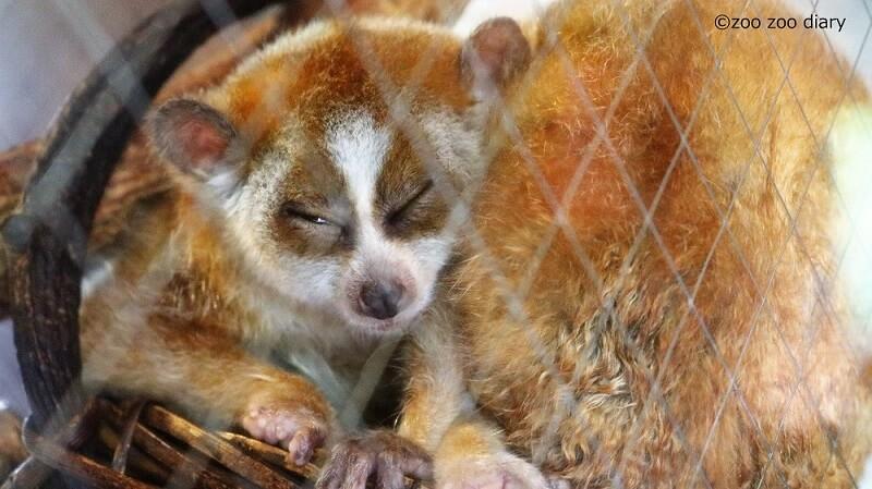 九州自然動物公園アフリカンサファリ ピグミースローロリス
