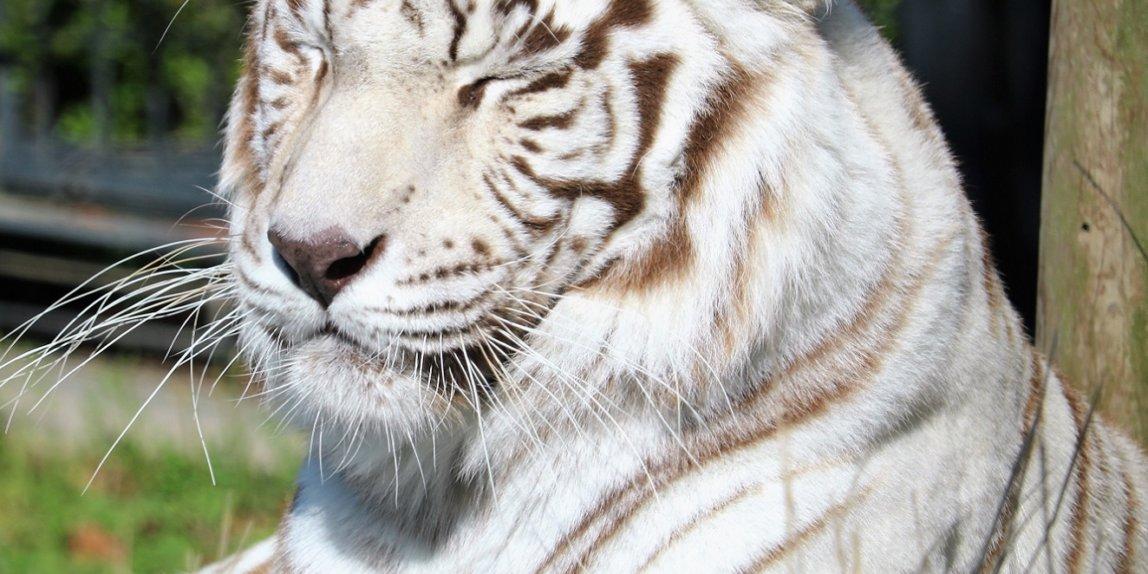 平川動物園 ホワイトタイガー