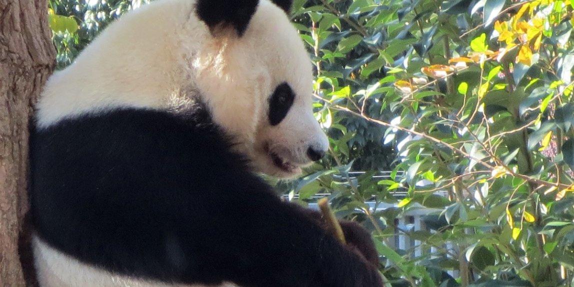 神戸市立王子動物園 パンダ