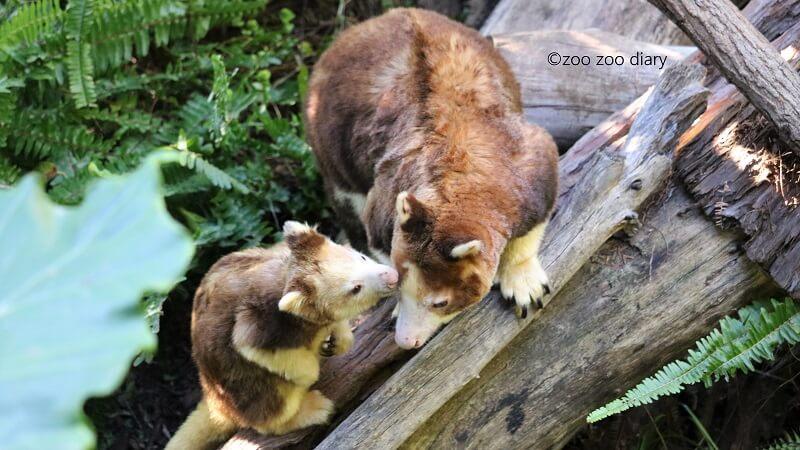 キノボリカンガルー サンディエゴ動物園サファリ