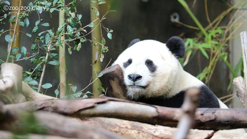 サンディエゴ動物園 ジャイアントパンダ