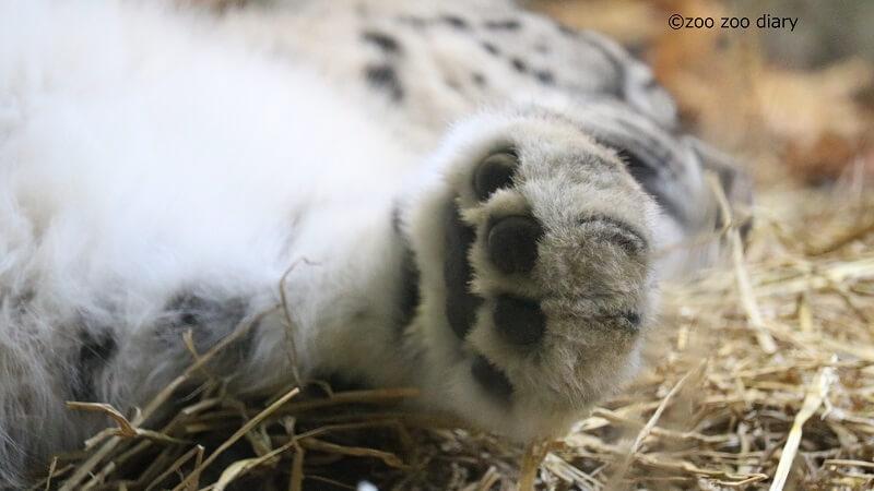 ブロンクス動物園 ユキヒョウ