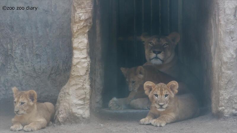 熊本市動植物園 ライオンの親子 赤ちゃん