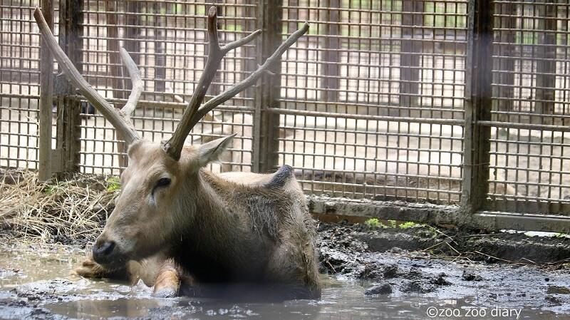 熊本市動植物園 シフゾウ