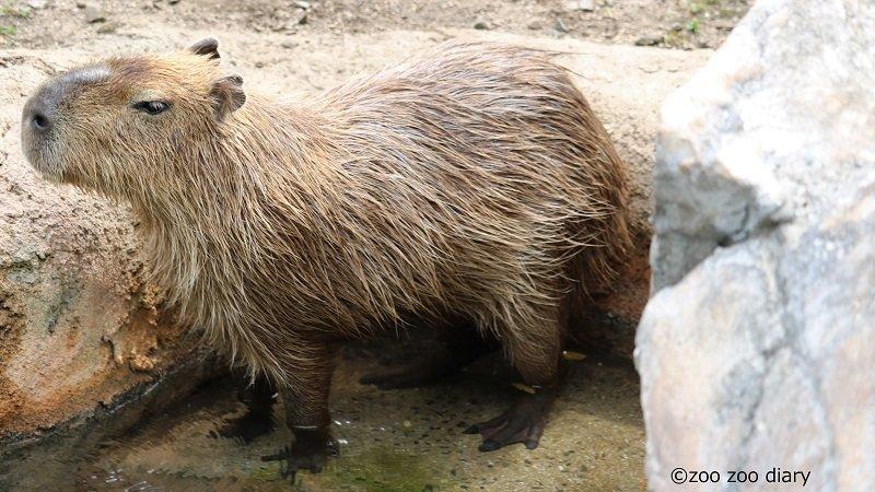 熊本市動植物園 カピバラ プール