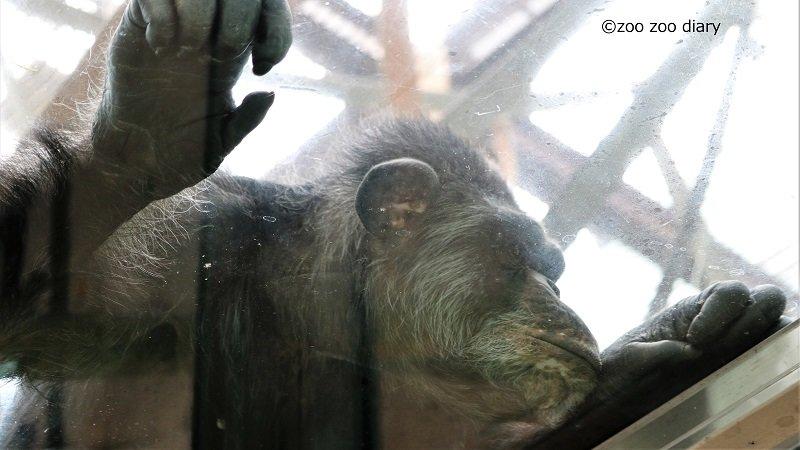 熊本市動植物園 チンパンジー