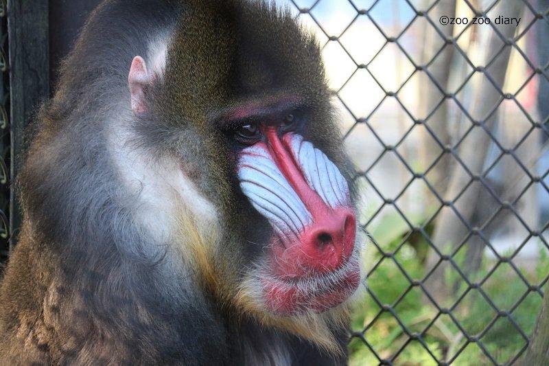 熊本市動植物園 マンドリル コタロウ