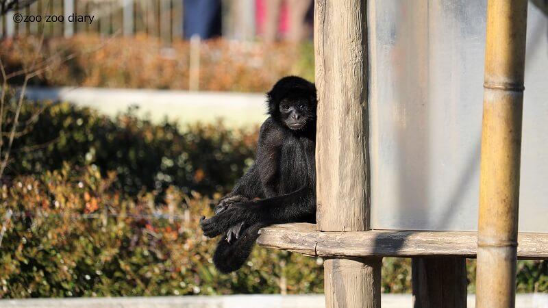 熊本市動植物園 クモザル