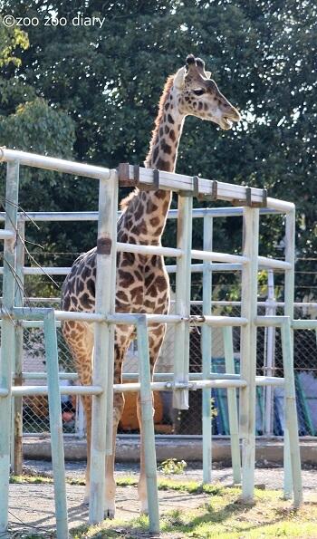 熊本市動植物園 マサイキリン