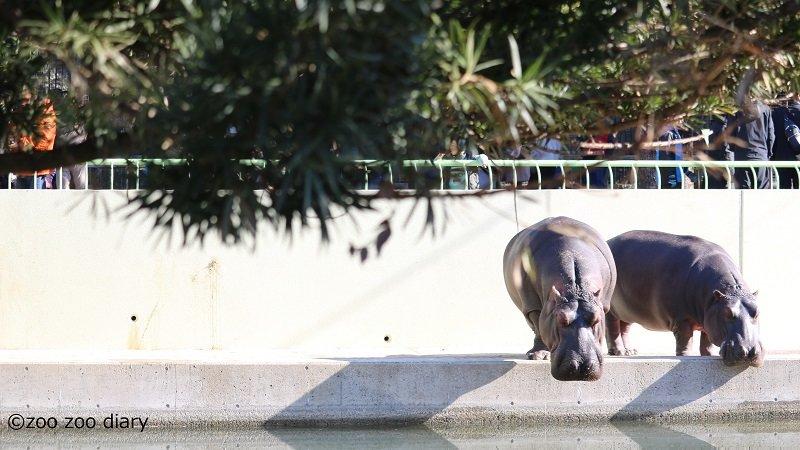 カバ 熊本市動植物園