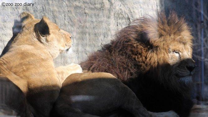 熊本市動植物園 ライオン