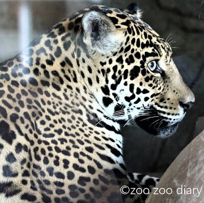 サンディエゴ動物園 ジャガー