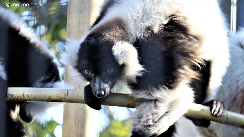 熊本市動植物園 エリマキキツネザル